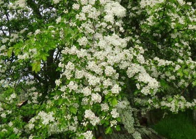 Hawthorn flooers - May 2014